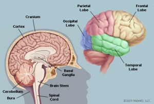 brain schematic