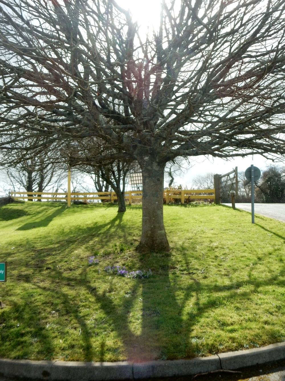 Tree and crocuses