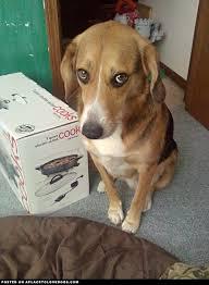 Guilty Look Fear Beagle