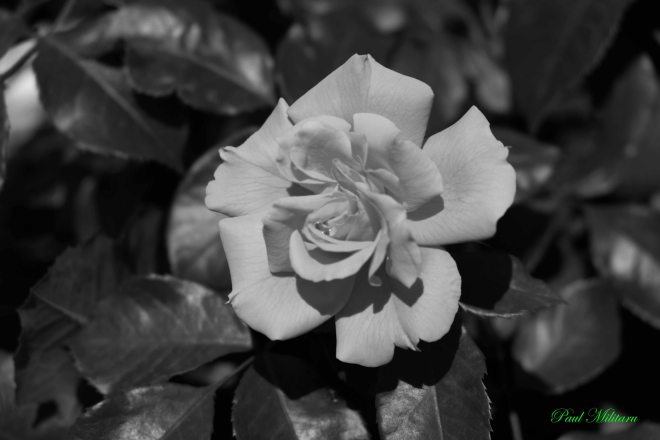 an elegant rose