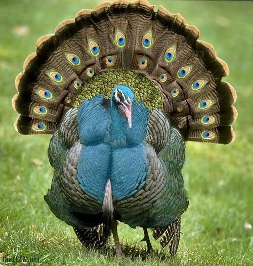 blue turkey