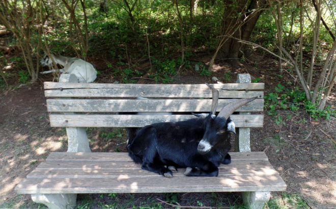 Goat on a bench